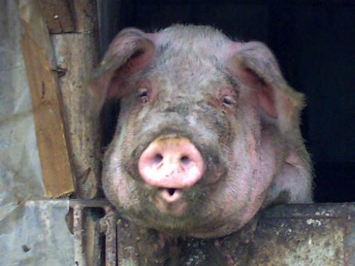 porc-dupa.jpg