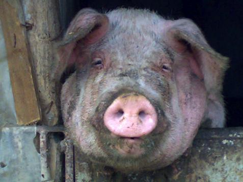 porc-inainte.jpg