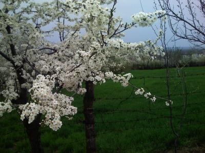 copac-cu-flori-de-prun.jpg